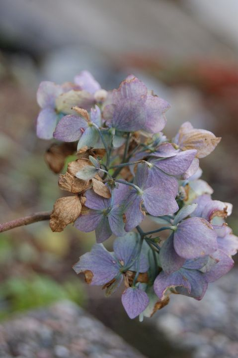 Lilla blomst - J.Telle