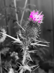 Delicate Thistle