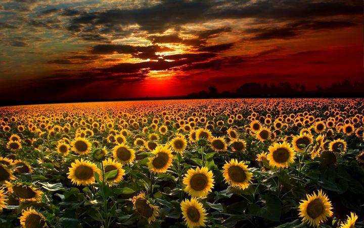 Scituate, Rhode Island Sunflowers - Jeanpaul Ferro