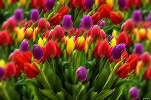 Dutch Tulips by Jeanpaul Ferro