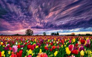 Sunsets and Tulips by Jeanpaul Ferro