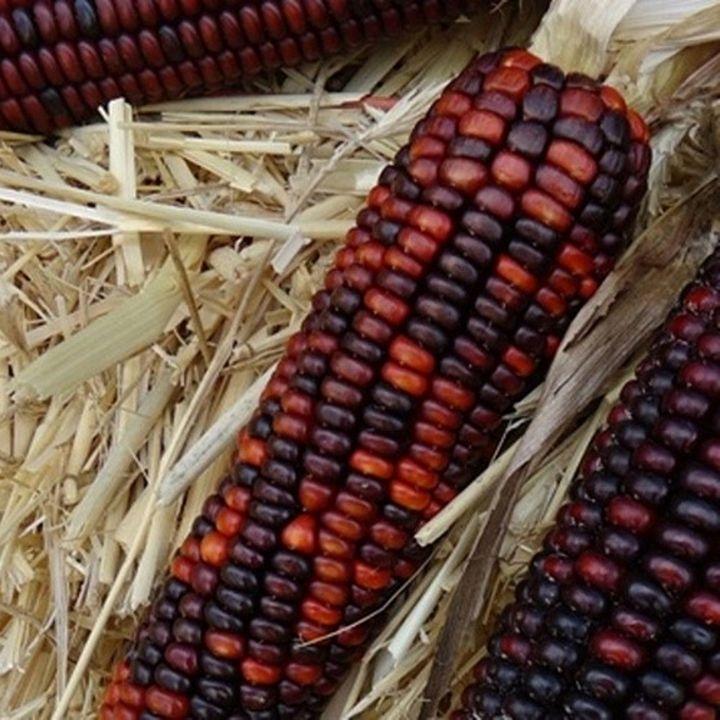 "New England ""Indian"" Autumn Corn - Jeanpaul Ferro"