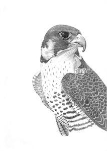 Peregrine Falcon - Tammy Liu-Haller