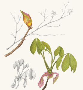 Hickory Branches