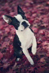Boston Terrier in Fall Leaves
