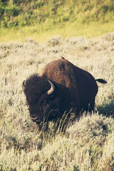 Yellowstone - Hitching a ride - shellyQ photography & art