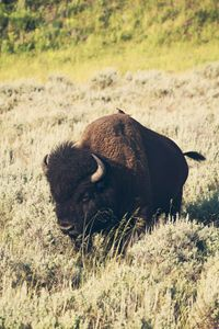 Yellowstone - Hitching a ride