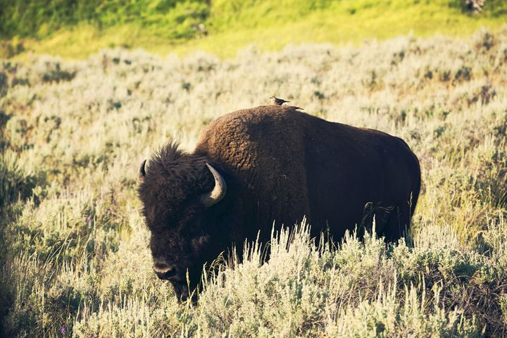 Yellowstone - Hitching a ride - shellyQ photography & art