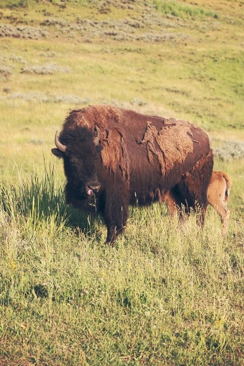 Yellowstone - Bison & Baby - shellyQ photography & art