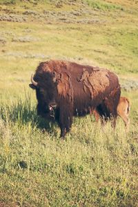 Yellowstone - Bison & Baby