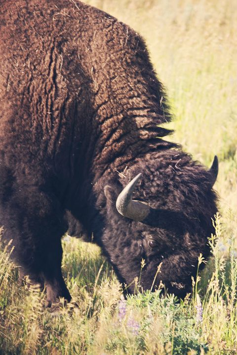 Yellowstone National Park - Bison - shellyQ photography & art