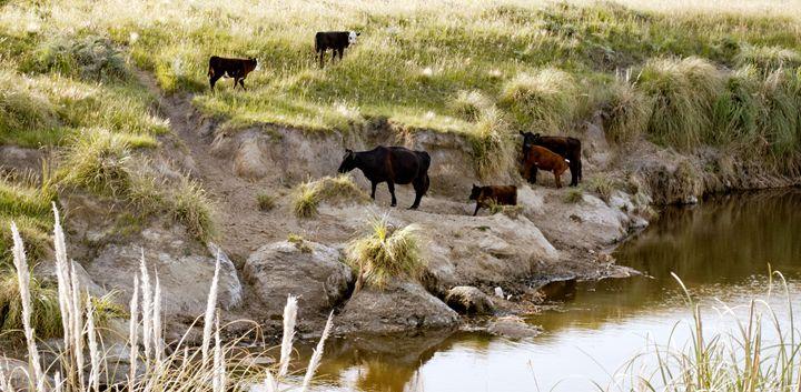 vacas - Norberto Lauria