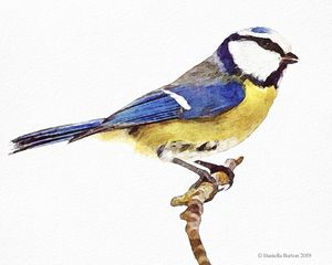 Hand Illustrated Blue Tit Watercolou