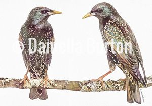 Hand Illustrated 'Two Starlings'
