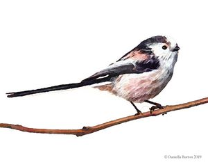 Long Tailed Tit Watercolour