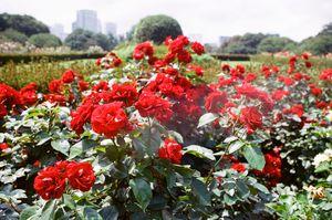 Red Roses in Shinjuku