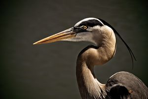 Great Blue Heron Close Up Portrait