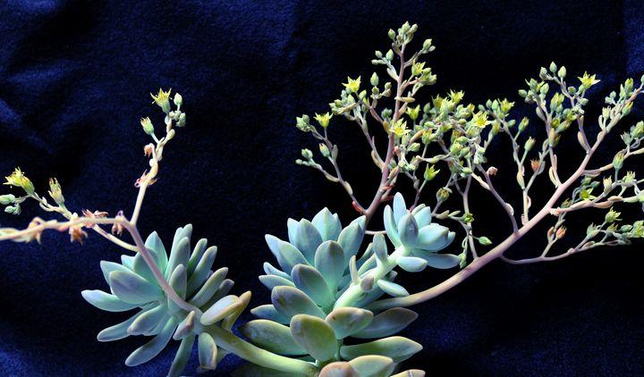 Succulent in flower 2 - M Diane Bonaparte