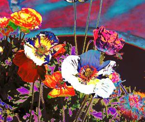 Poppy Abstract 3