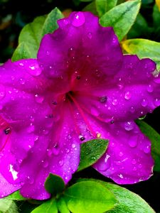 Fuchsia Flower in the Rain