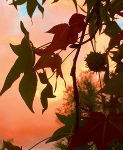 Autumn Liquid Amber