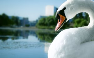 City Swan