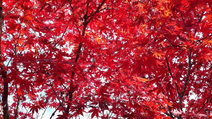 Maple in the fall - treasure chest