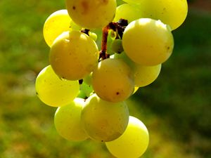 The Grapes of Carolina