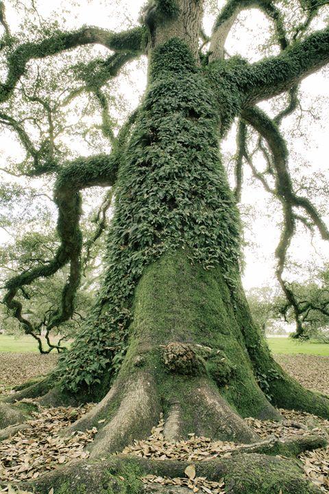 Oak Tree - Seeking Venture Gallery