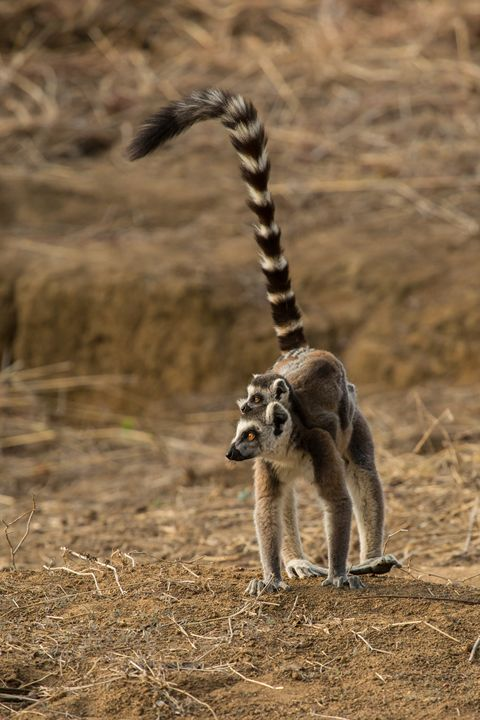 Lemur Mom & Baby - Heatherae Photography