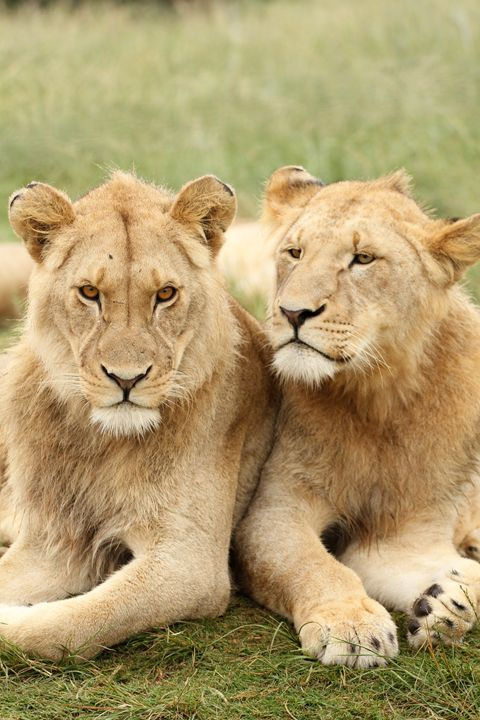 Lion Pals - Heatherae Photography