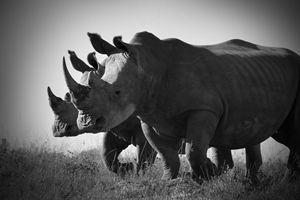 White Rhino II - Seeking Venture Gallery