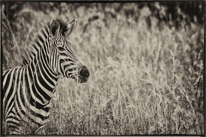 Sepia Zebra - Heatherae Photography