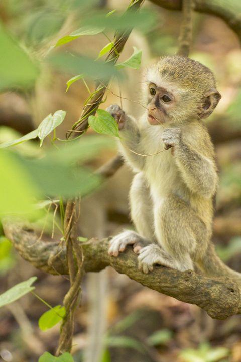 Vervet Monkey - Heatherae Photography