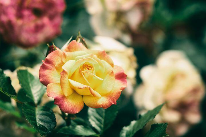 Yellow Rose - Heatherae Photography