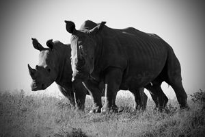 White Rhinos - Seeking Venture Gallery