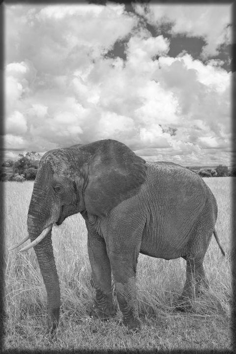 Elephant B&W - Heatherae Photography