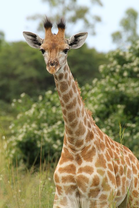 Young Giraffe - Heatherae Photography