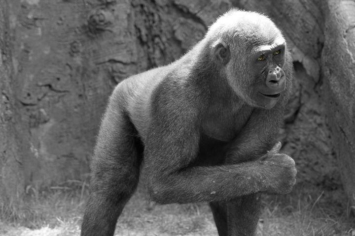 Thumbs Up Gorilla - Heatherae Photography