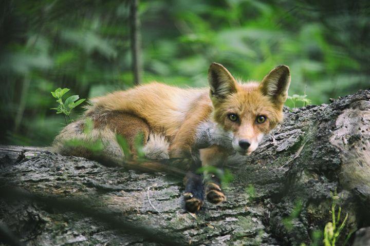 Mr. Fox - Heatherae Photography
