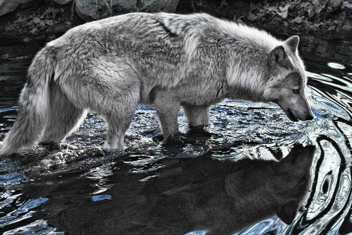 Wolf Reflection - Heatherae Photography