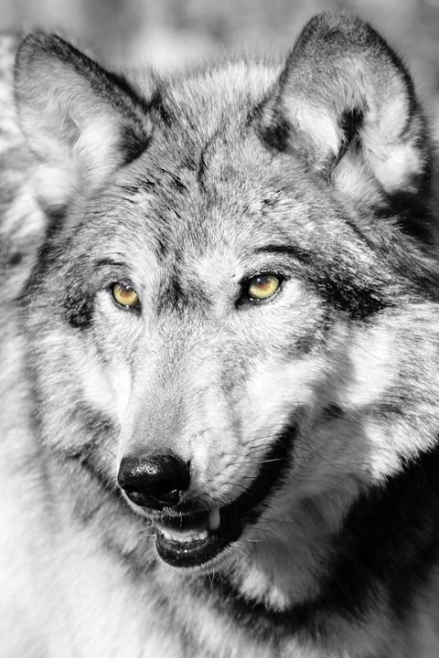 Wolf Eyes - Heatherae Photography