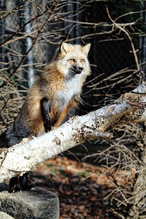 Fox - Heatherae Photography