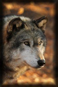 Wolf Look - Heatherae Photography