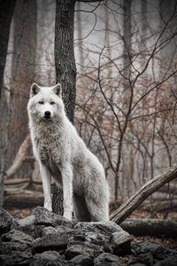 Wolf Pose II - Seeking Venture Gallery