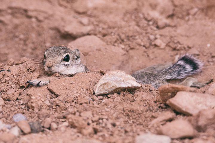 Desert Squirrel - Heatherae Photography
