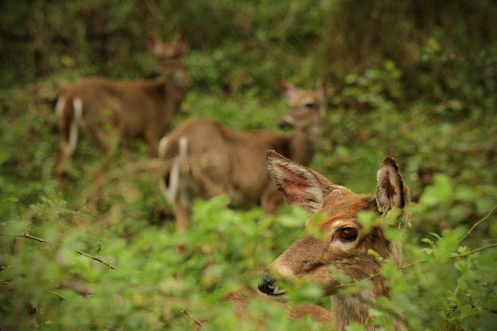 Three Deer - Heatherae Photography