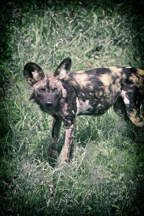 Wild Dog - Heatherae Photography