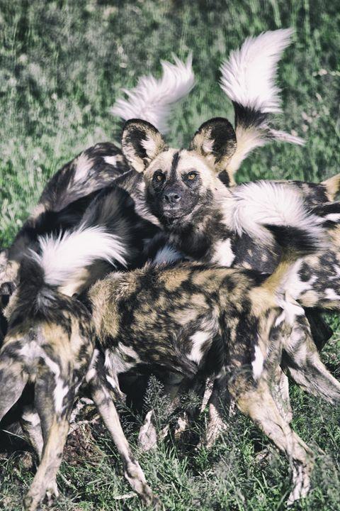 African Wild Dog - Seeking Venture Gallery