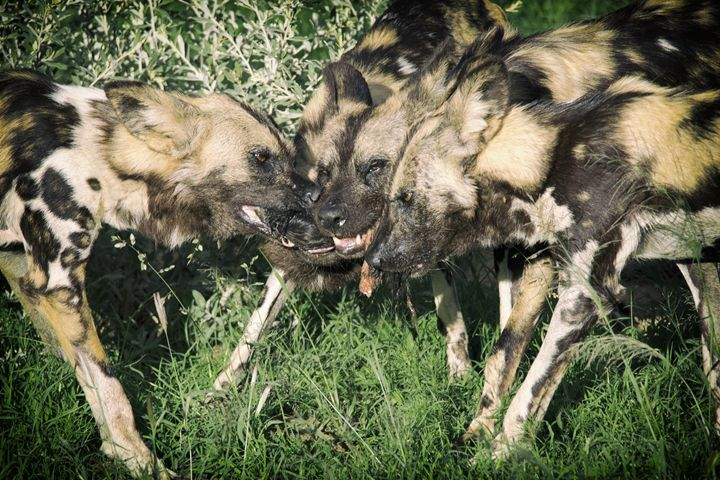 Wild Dog Feeding - Seeking Venture Gallery